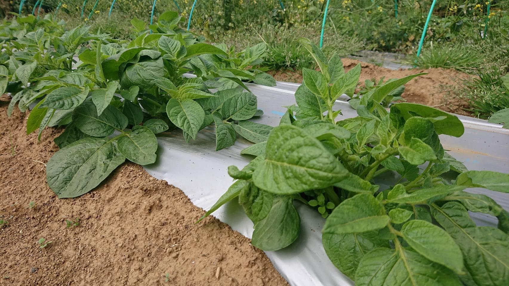 ここ1週間の気温で野菜達はぐんぐん・・・_c0222448_15561507.jpg