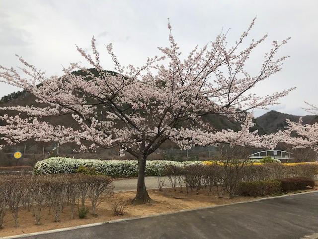 桜満開、そしてセリにクレソン晴れの空・・・_b0100253_09181940.jpg