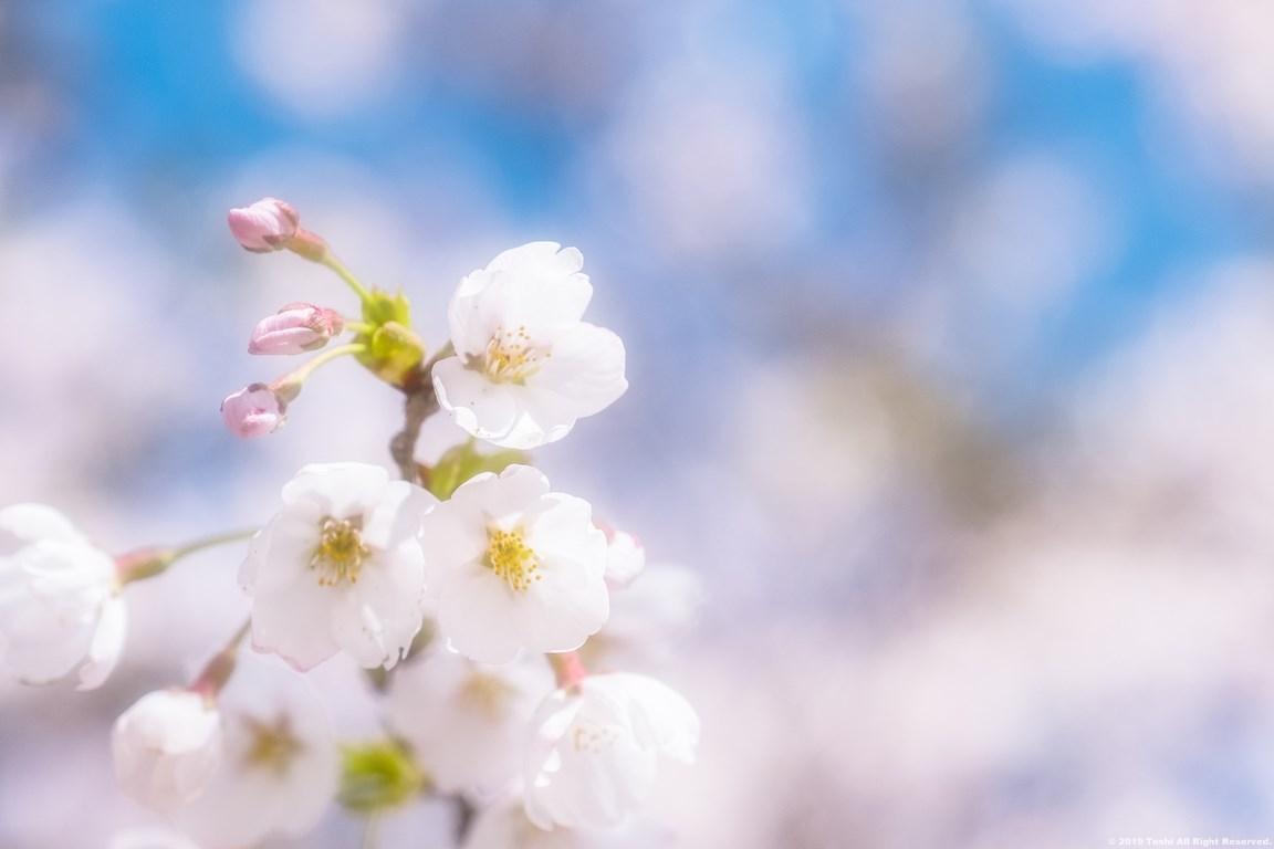 宇陀の桜 モクレン_c0350572_22490218.jpg