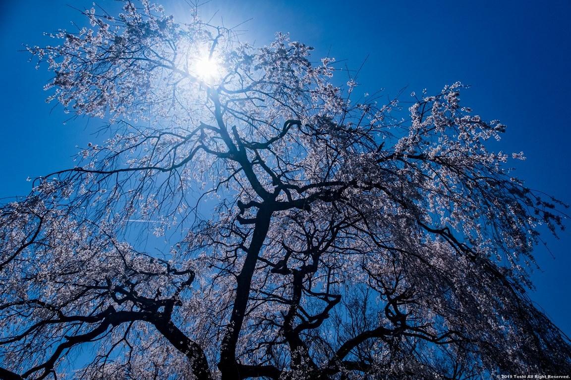 宇陀の桜 モクレン_c0350572_22491051.jpg