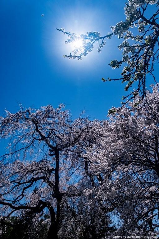 宇陀の桜 モクレン_c0350572_22491725.jpg
