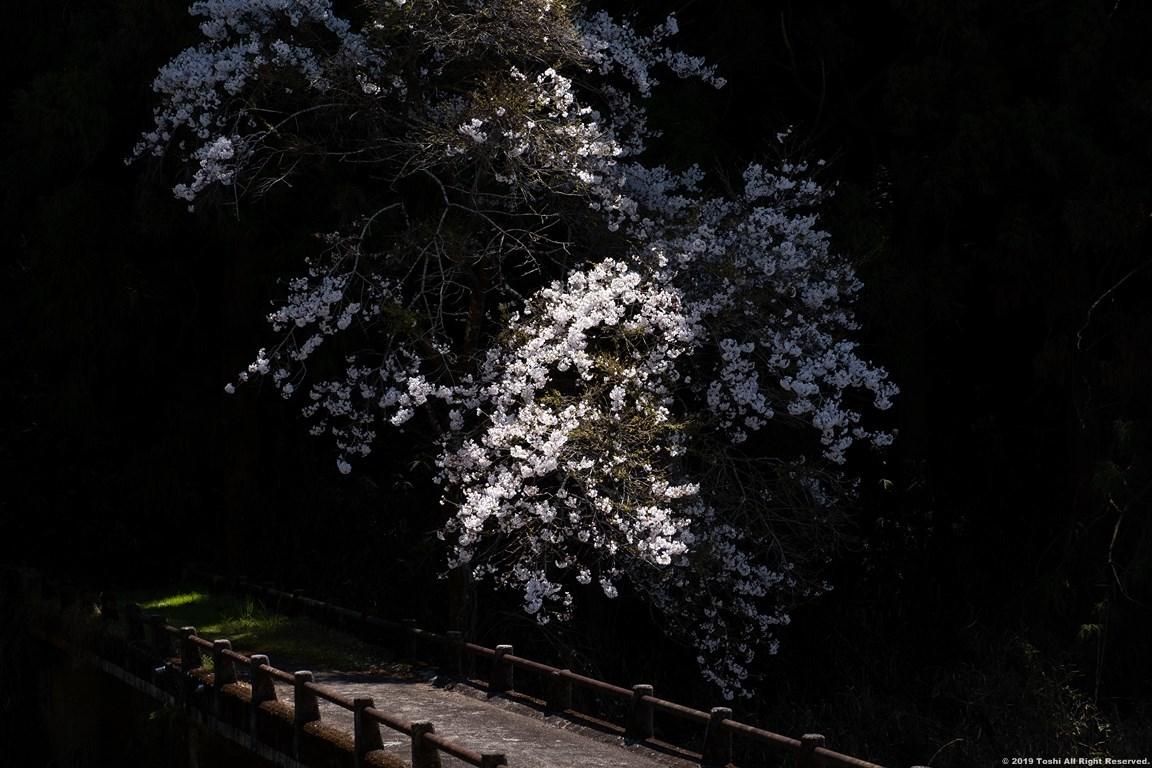 宇陀の桜 モクレン_c0350572_22493388.jpg