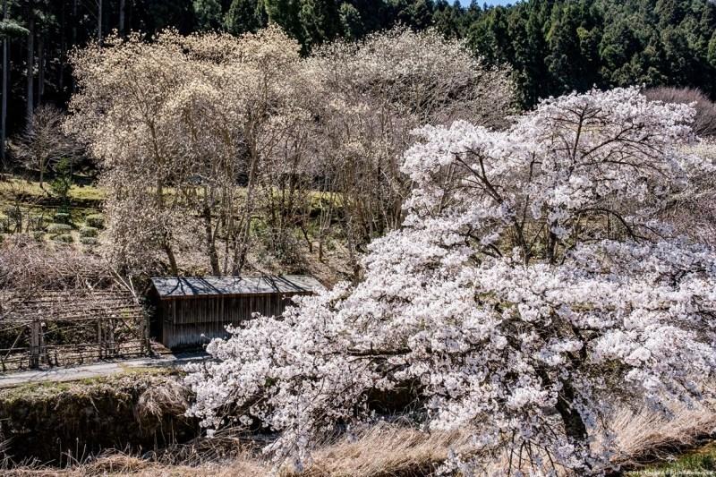 宇陀の桜 モクレン_c0350572_22495003.jpg