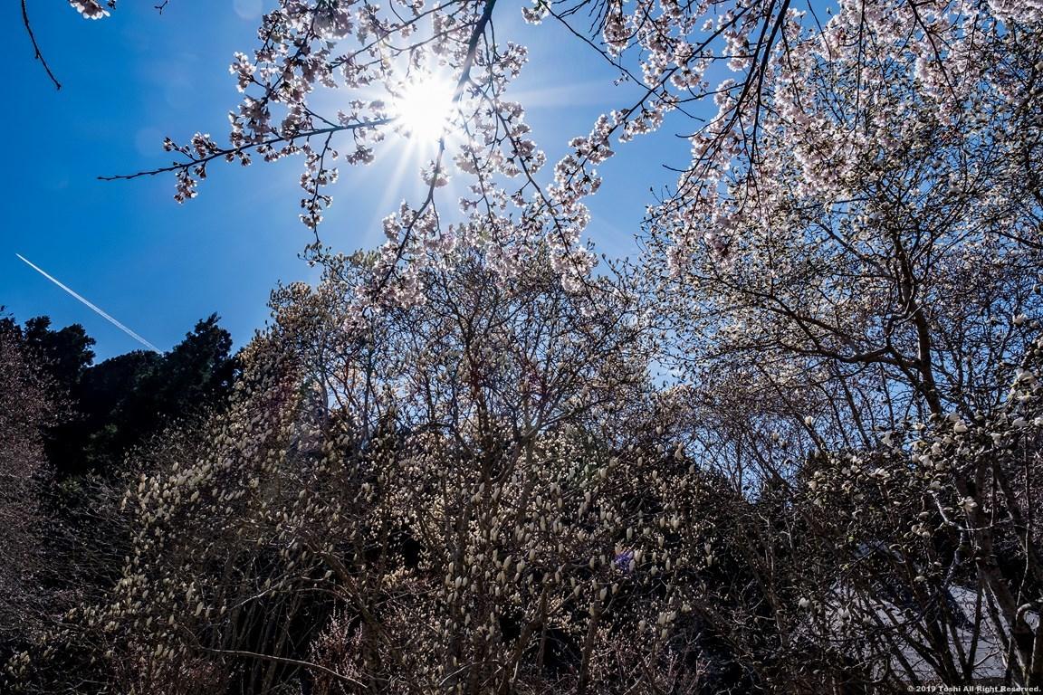 宇陀の桜 モクレン_c0350572_22500612.jpg
