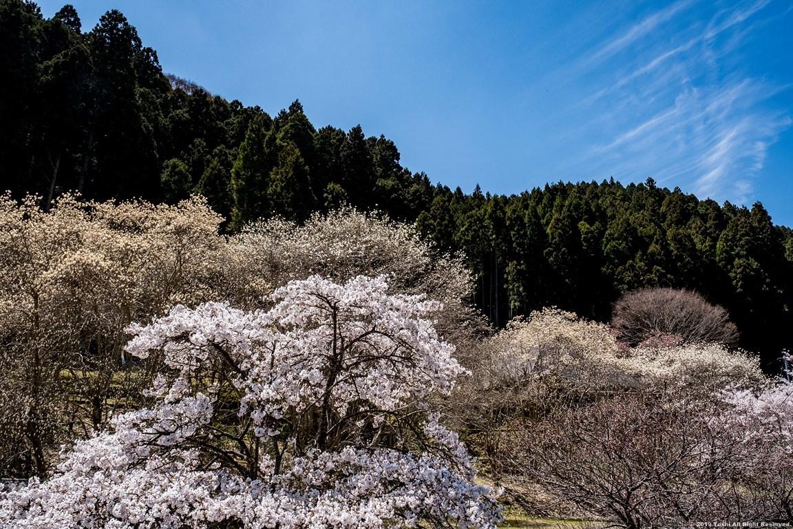 宇陀の桜 モクレン_c0350572_22501331.jpg