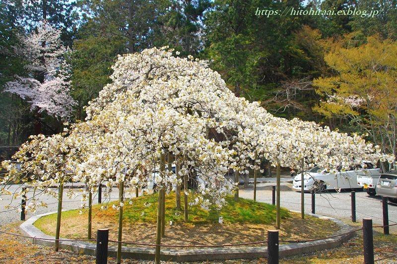京都の桜 大原野神社 千眼桜_f0374092_18385725.jpg