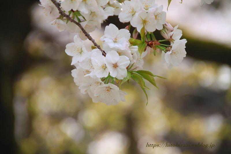 京都の桜 大原野神社 千眼桜_f0374092_18414323.jpg