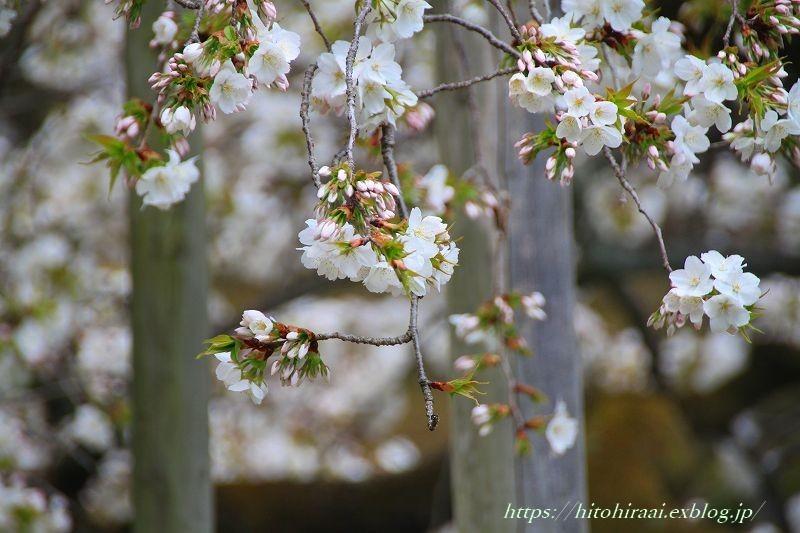 京都の桜 大原野神社 千眼桜_f0374092_18421931.jpg