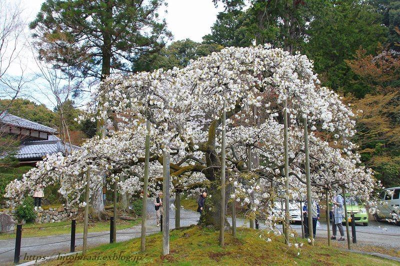 京都の桜 大原野神社 千眼桜_f0374092_18431199.jpg