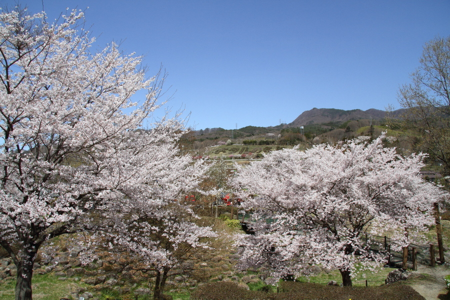 桜と水が入る前の田んぼに汽笛が響く - 2019年桜・上越線 -_b0190710_17494056.jpg