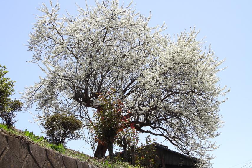 桜と水が入る前の田んぼに汽笛が響く - 2019年桜・上越線 -_b0190710_17494131.jpg