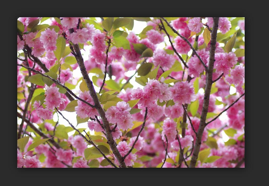スズラン水仙 今年は咲いた_d0147812_15105132.jpg