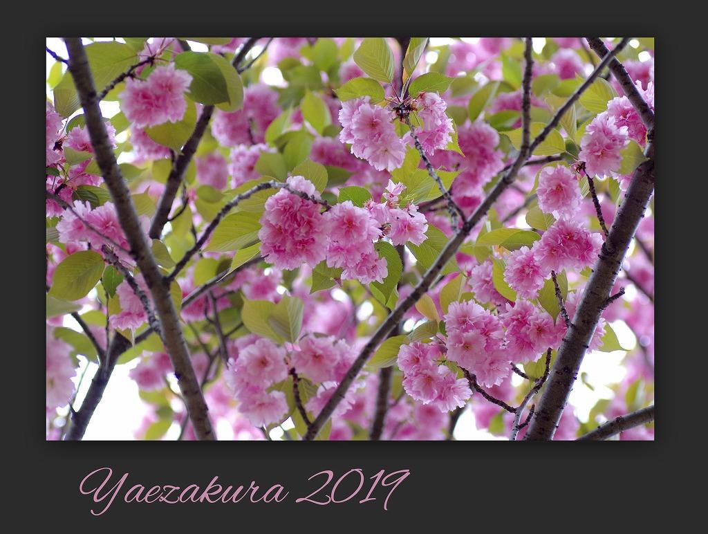 スズラン水仙 今年は咲いた_d0147812_1511616.jpg