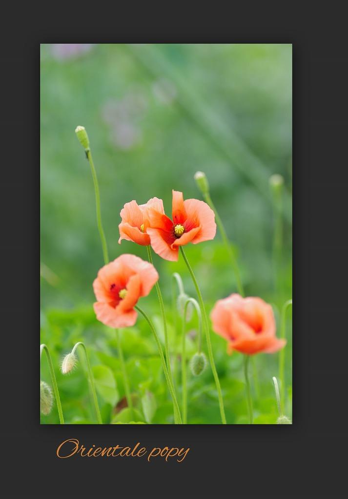 スズラン水仙 今年は咲いた_d0147812_15122982.jpg