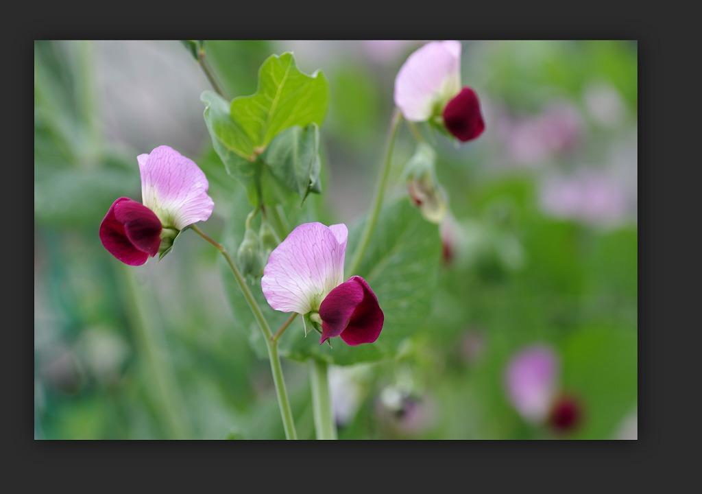 スズラン水仙 今年は咲いた_d0147812_1513124.jpg