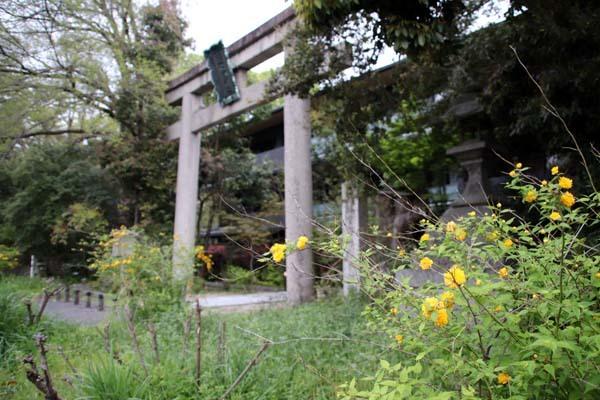 梨の木神社 山吹と新緑_e0048413_21512627.jpg