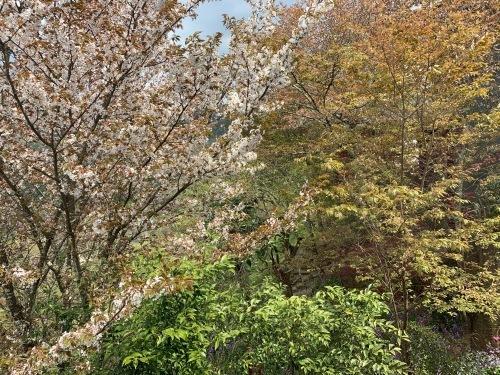 奥千本が7分咲きです!_e0154524_15213309.jpg