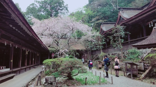 水分神社の桜が満開になりました!(水分神社:上千本)_e0154524_16444736.jpg