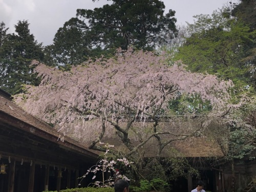 水分神社の桜が満開になりました!(水分神社:上千本)_e0154524_16553714.jpg