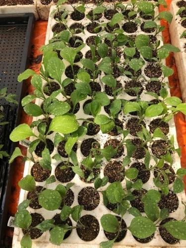 夏野菜の畝作り 今朝は4名です_c0222448_15263401.jpg