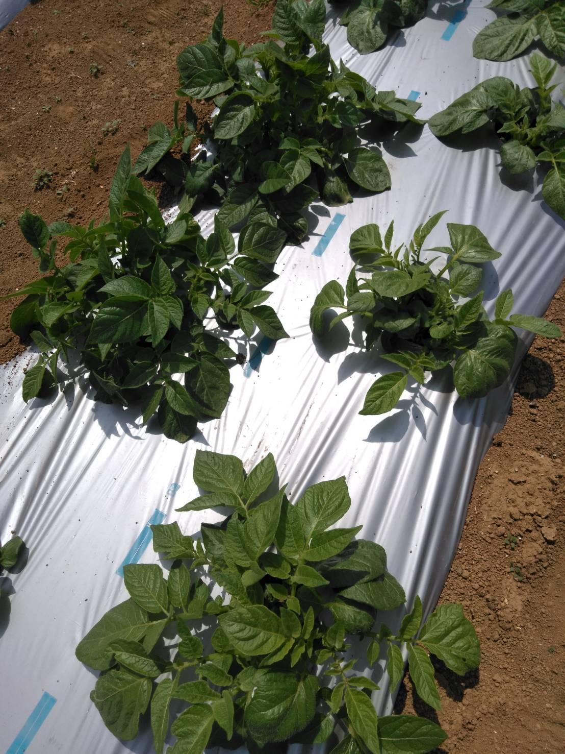夏野菜の畝作り 今朝は4名です_c0222448_16245847.jpg