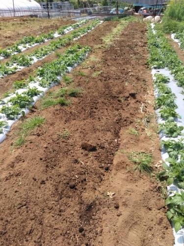 夏野菜の畝作り 今朝は4名です_c0222448_16254228.jpg