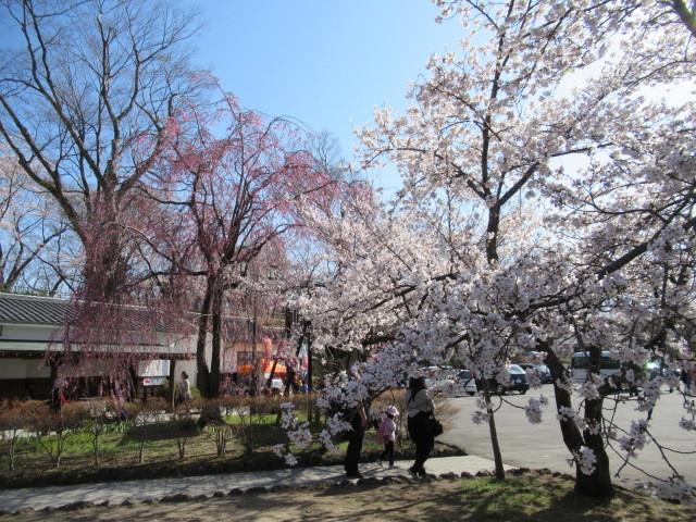 小諸城址・懐古園 * 桜が満開でした~軽井沢の桜も開花しました♪_f0236260_02590255.jpg