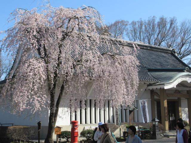 小諸城址・懐古園 * 桜が満開でした~軽井沢の桜も開花しました♪_f0236260_03015153.jpg