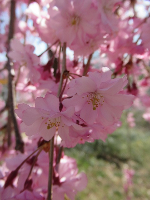 小諸城址・懐古園 * 桜が満開でした~軽井沢の桜も開花しました♪_f0236260_03020439.jpg