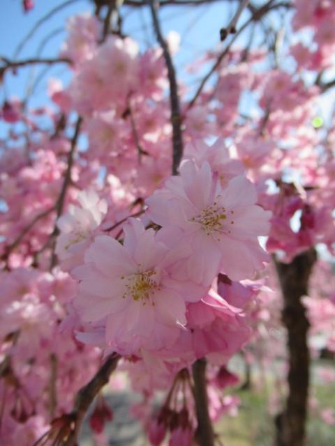 小諸城址・懐古園 * 桜が満開でした~軽井沢の桜も開花しました♪_f0236260_03022032.jpg