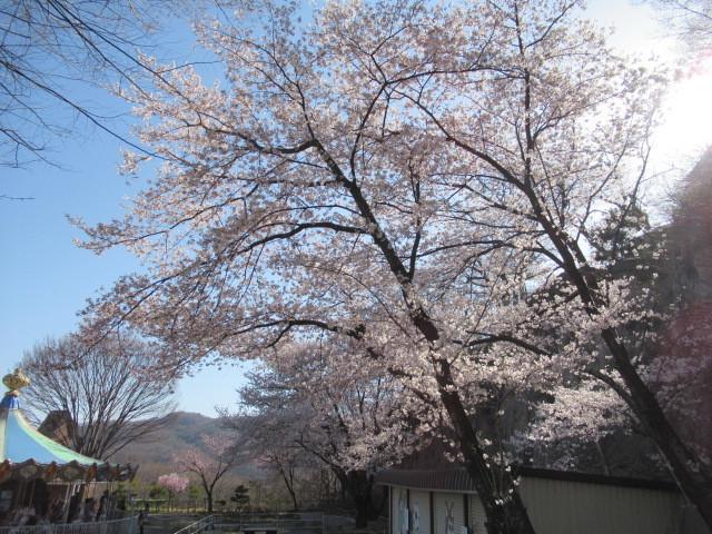 小諸城址・懐古園 * 桜が満開でした~軽井沢の桜も開花しました♪_f0236260_03025300.jpg