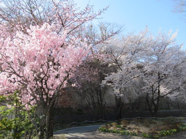 小諸城址・懐古園 * 桜が満開でした~軽井沢の桜も開花しました♪_f0236260_03034356.jpg
