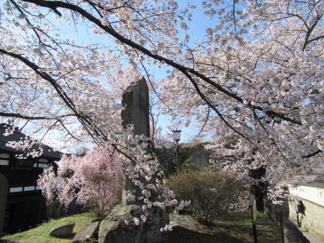 小諸城址・懐古園 * 桜が満開でした~軽井沢の桜も開花しました♪_f0236260_03072715.jpg