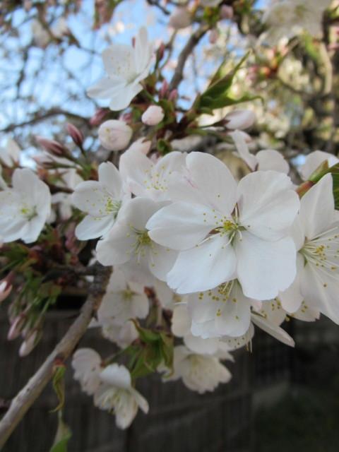 小諸城址・懐古園 * 桜が満開でした~軽井沢の桜も開花しました♪_f0236260_03081059.jpg