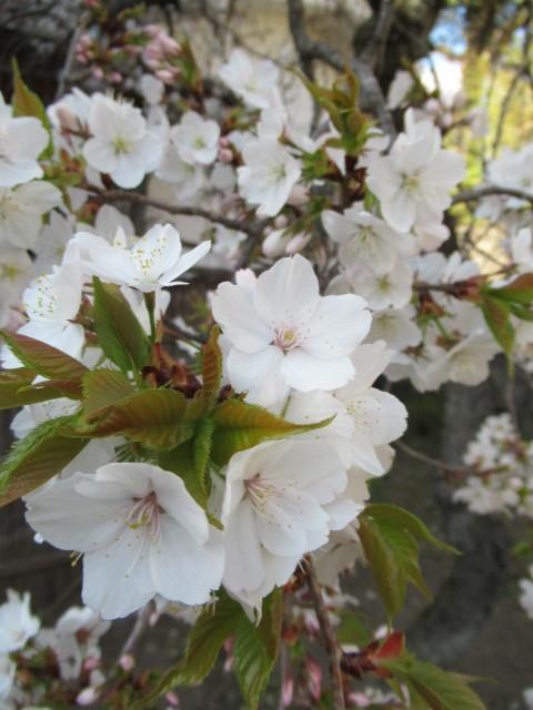 小諸城址・懐古園 * 桜が満開でした~軽井沢の桜も開花しました♪_f0236260_03082950.jpg