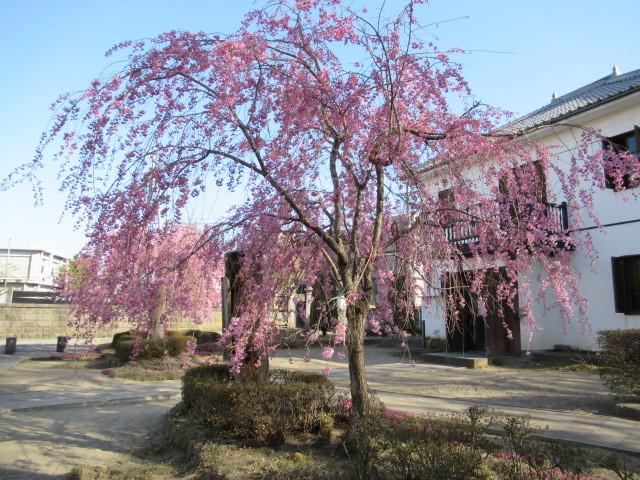 小諸城址・懐古園 * 桜が満開でした~軽井沢の桜も開花しました♪_f0236260_03084305.jpg