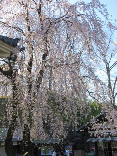 小諸城址・懐古園 * 桜が満開でした~軽井沢の桜も開花しました♪_f0236260_03100224.jpg