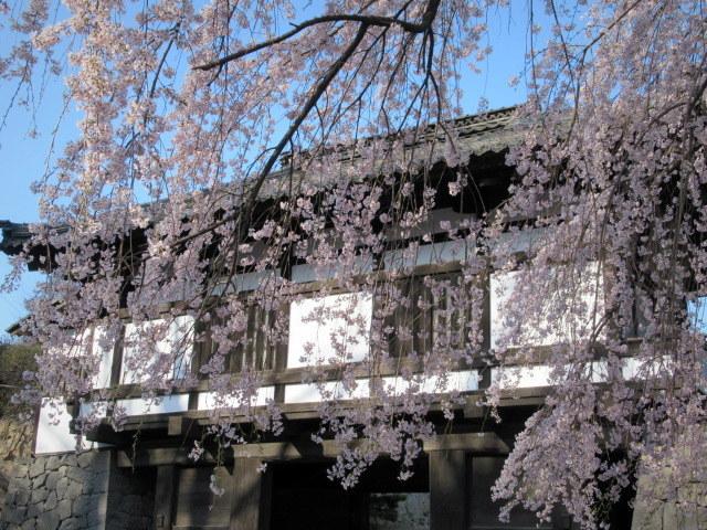 小諸城址・懐古園 * 桜が満開でした~軽井沢の桜も開花しました♪_f0236260_03111399.jpg