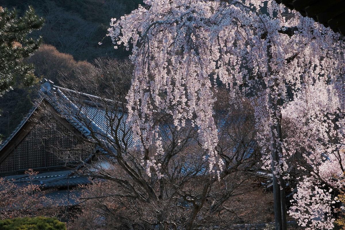 桜 2019_f0021869_23023660.jpg