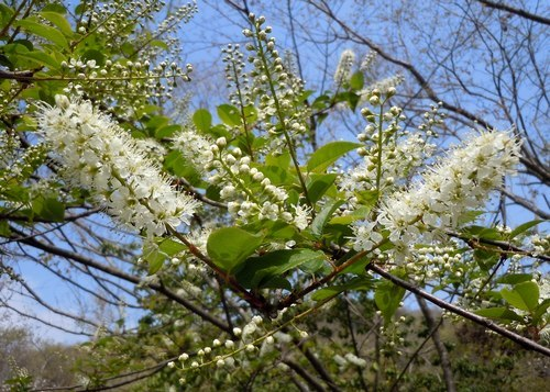 れっきとした桜です_b0102572_17402177.jpg