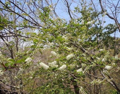 れっきとした桜です_b0102572_17403844.jpg
