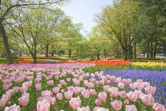 昭和記念公園 チューリップ 2018_b0145398_23144476.jpg