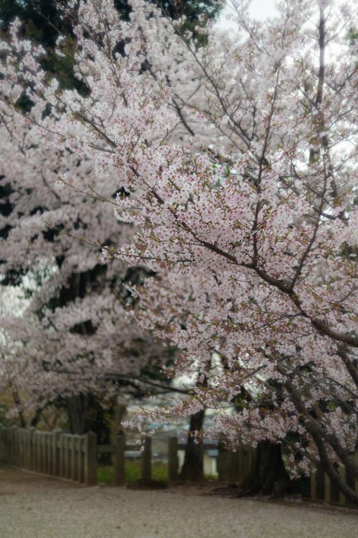 桜 2019年 ~ 深草 ~_b0221605_15595688.jpg