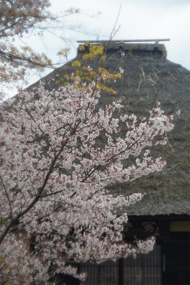 桜 2019年 ~ 深草 ~_b0221605_16021562.jpg
