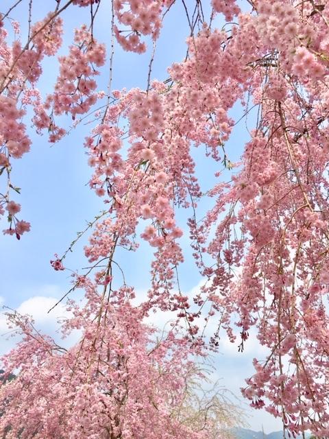 枝垂れ桜_a0112220_16424763.jpg