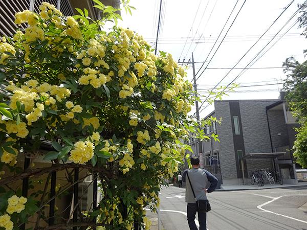 八重桜を見に・・・_f0097523_15310892.jpg