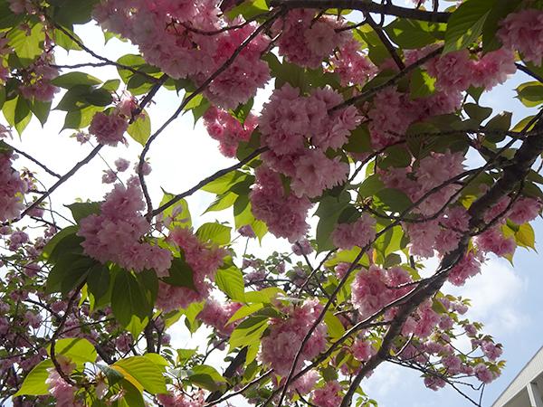 八重桜を見に・・・_f0097523_15311785.jpg