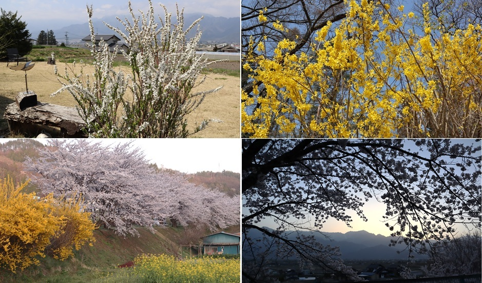 夕暮れと桜_a0212730_20573661.jpg