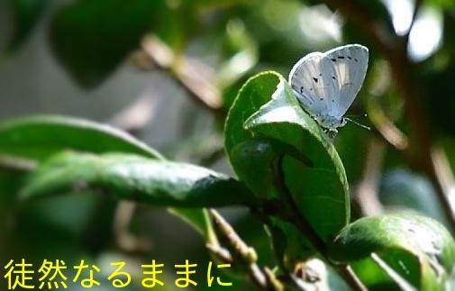 平成最後は      サツマシジミ 春型 _d0285540_06050255.jpg