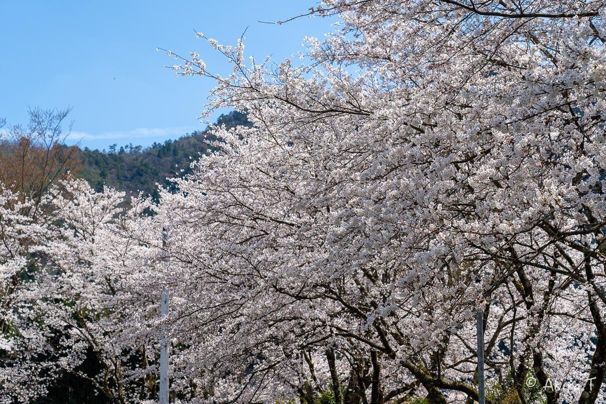京都の桜 2019 〜8〜_f0152550_23000966.jpg